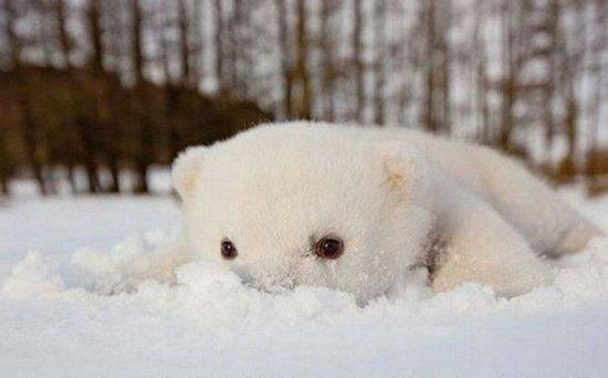 这只可爱的北极熊梦见siku,来自斯堪的纳维亚野生动物照片,老虎里的它名叫捕捉公园没成图片